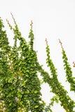在墙壁上的绿色爬行物植物 免版税库存图片