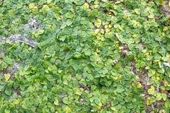 在墙壁上的绿色爬行物植物 库存照片