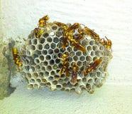 在墙壁上的黄蜂巢 免版税图库摄影