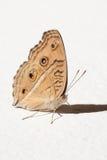 在墙壁上的蝴蝶 图库摄影