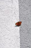 在墙壁上的Aglais io蝴蝶 库存图片