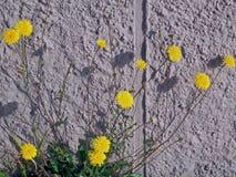 在墙壁前面的美丽的开花的蒲公英花 免版税库存图片