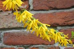 在墙壁前面的连翘属植物花 库存照片