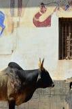 在墙壁和动物绘的母牛,曼达瓦, Rajastha上 图库摄影