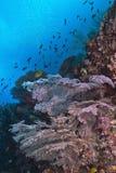 在墙壁礁石的明亮桃红色海底扇 库存照片