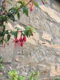 在墙壁红色绿色叶子的花 免版税库存照片