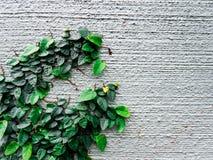 在墙壁背景隔绝的上升的植物 免版税库存图片