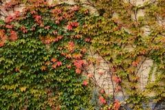 在墙壁,秋天背景上的植物 库存图片