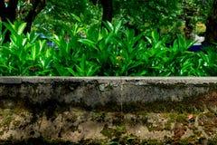 在墙壁Loropetalum chinense 免版税库存图片