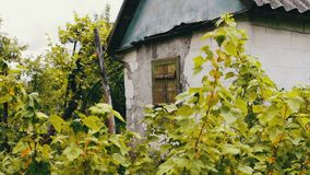 在增长无核小葡萄干灌木旁边的老削皮房子 影视素材