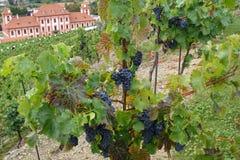 在增长的葡萄树的葡萄酒 库存照片