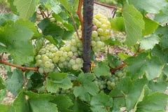在增长的葡萄树的葡萄酒 免版税库存图片