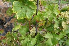 在增长的葡萄树的葡萄酒 图库摄影