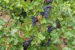 在增长的葡萄树的葡萄酒 免版税图库摄影