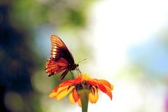在墨西哥万寿菊的蝴蝶 免版税库存照片