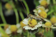 在墨西哥雏菊的甲虫臭虫 库存图片