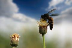在墨西哥雏菊的蜂 免版税库存照片