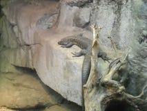 在壁架的一只蜥蜴 库存照片