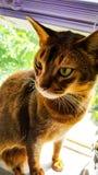 在壁架的猫 免版税库存图片
