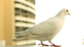 在壁架的白色鸽子 股票视频