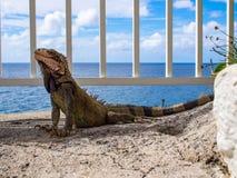 在壁架的鬣鳞蜥在海景上 免版税库存照片
