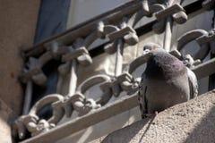 在壁架的鸽子 免版税库存图片