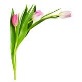 在壁角安排的三朵桃红色郁金香花 库存照片