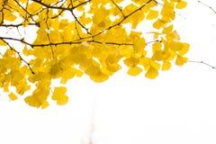 在壮观的秋天颜色的银杏树叶子 库存照片
