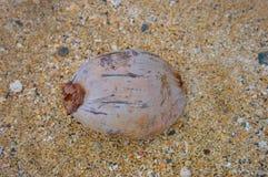 在壳海滩的椰子 库存图片