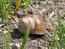在壳爬行在路的,夏日的大蜗牛 免版税库存照片