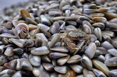 在壳的上面的螃蟹 免版税图库摄影