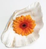 在壳的大丁草雏菊 库存照片