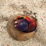 在壳的寄居蟹在海滩害羞的单独脾气坏的孑然 库存照片