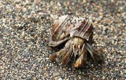 在壳的寄居蟹在海滩, Corcovado,哥斯达黎加 库存图片