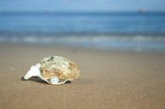 在壳的珍珠 库存照片