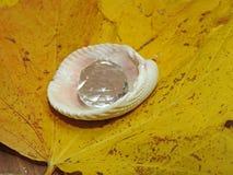 在壳的秋天珍珠 库存照片
