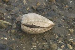 在壳的蛤蜊 免版税库存照片