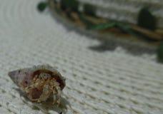 在壳的螃蟹 免版税库存照片