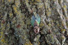 在壳顶部的蝉 免版税库存照片