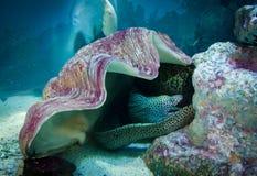 在壳,水下的寿命之下的海鳗 免版税库存图片
