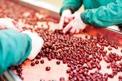 在处理机的欧洲酸樱桃 库存照片