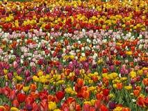 在复活节时间的五颜六色的郁金香领域 库存照片