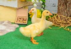 在复活节装饰的两个婴孩幼鹅 免版税库存照片