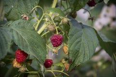 在复盆子灌木丛成熟莓果的夏天 免版税图库摄影