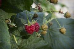 在复盆子灌木丛成熟莓果的夏天 免版税库存照片