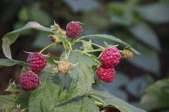 在复盆子灌木丛成熟莓果的夏天 免版税库存图片
