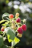 在复盆子灌木丛成熟莓果的夏天 库存照片