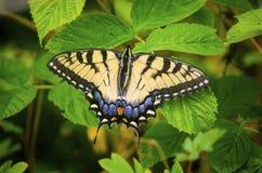 在复盆子灌木丛的东部老虎Swallowtail蝴蝶离开 免版税库存照片