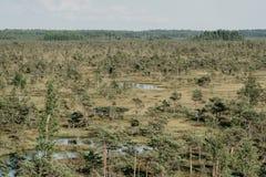 在夏天使与杉树的看法陷入沼泽 Kemeru拉脱维亚 图库摄影