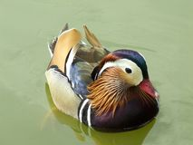 在夏天全身羽毛的鸳鸯 免版税库存图片